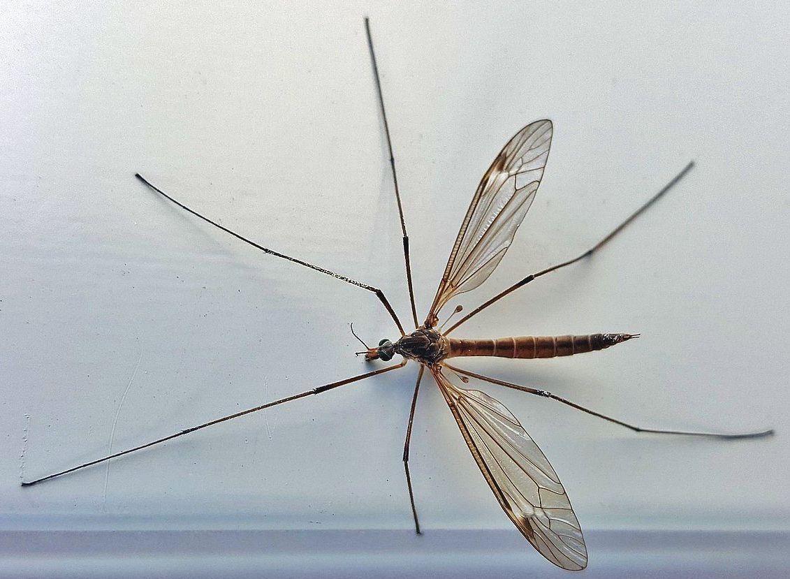Crane Fly Giant Mosquito