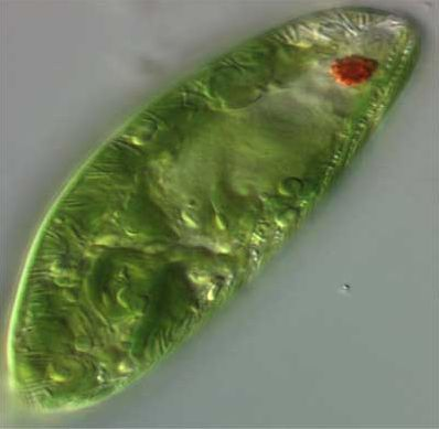 Euglena plant or animal?