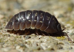 The garden pill bug resembles an armadillo.