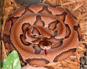 Copperhead coiled. CDC