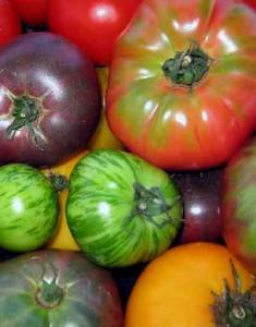 Grafting Tomatoes