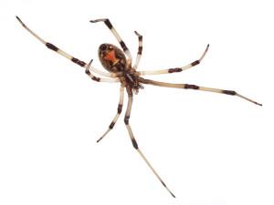 Brown widow spider image by Matthew Field, GNU Free Documentation License 1.2