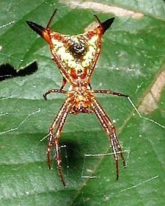 The Micrathena sagittata spider - PD Wikimedia Commons by Tim Ross