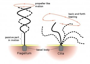 Flagella and Cilia - CCA 3.0 Unported by Urutsegh and Kohidai