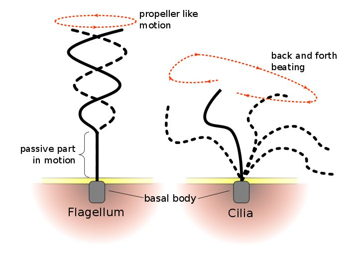 Flagella and Cilia - The Differences Between Them