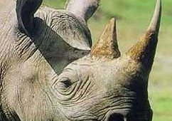 A rhino's horn is similar to callus skin.