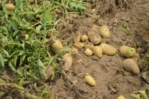 seed potatoes.