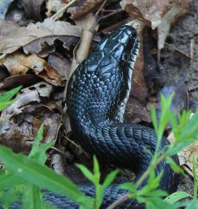 Black snakes and copperheads don't crossbreed.
