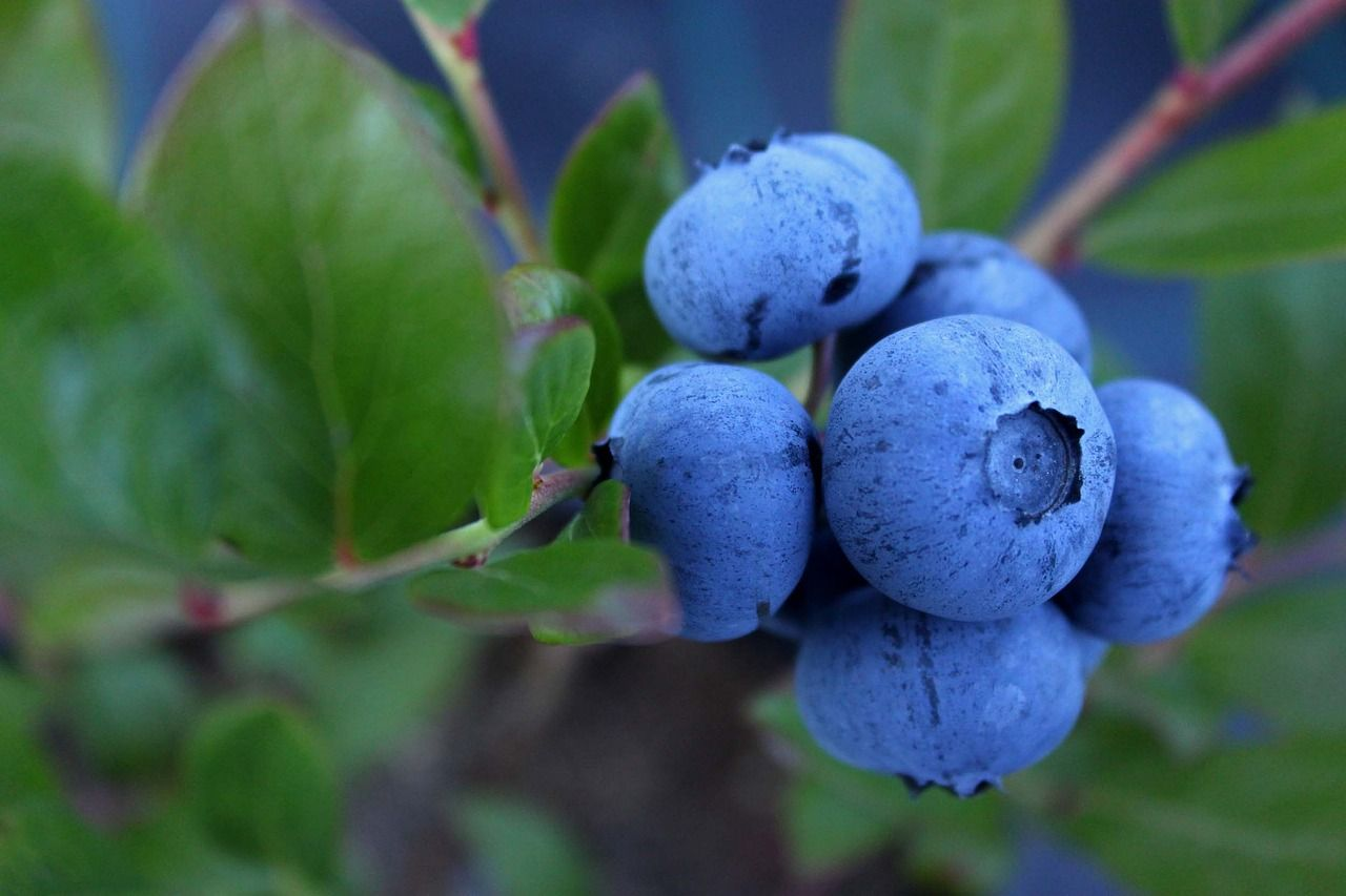 cooked blueberries taste different