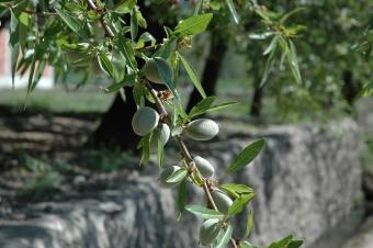 Black Knot Tree Fungus