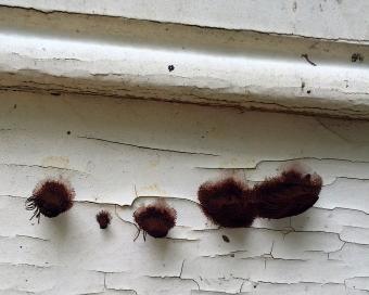 stemonitis chocolate brown slime mold