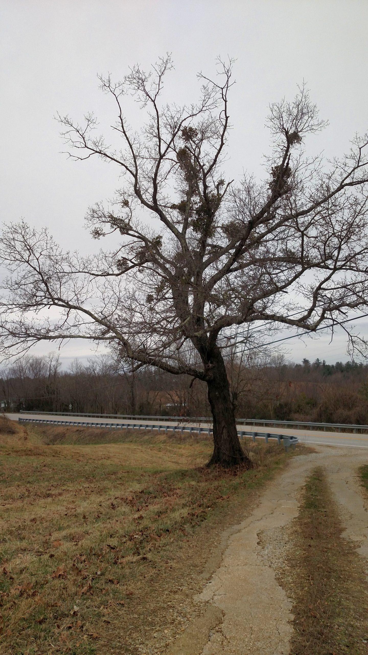Mistletoe in a tree.