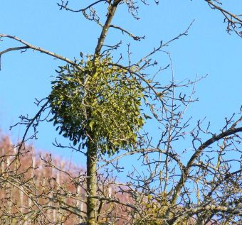 Mistletoe tree parasite