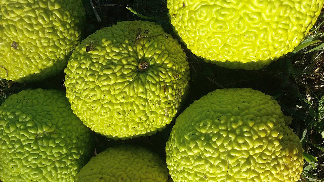 Osage orange fruit.
