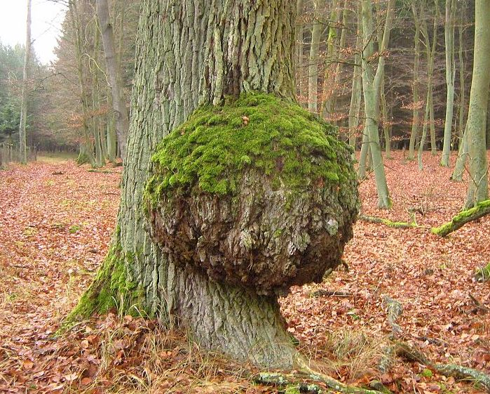 Tree Burls and Burl Wood: So Ugly They're Beautiful