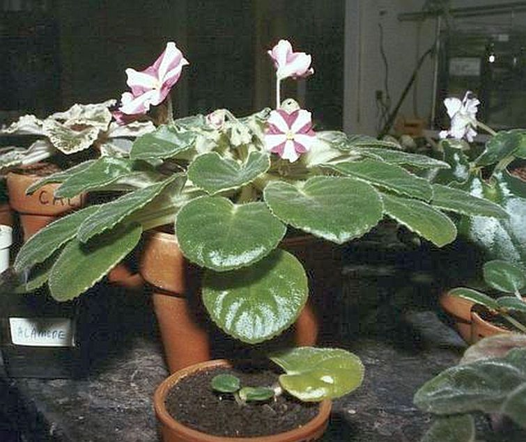 Chimera African Violets