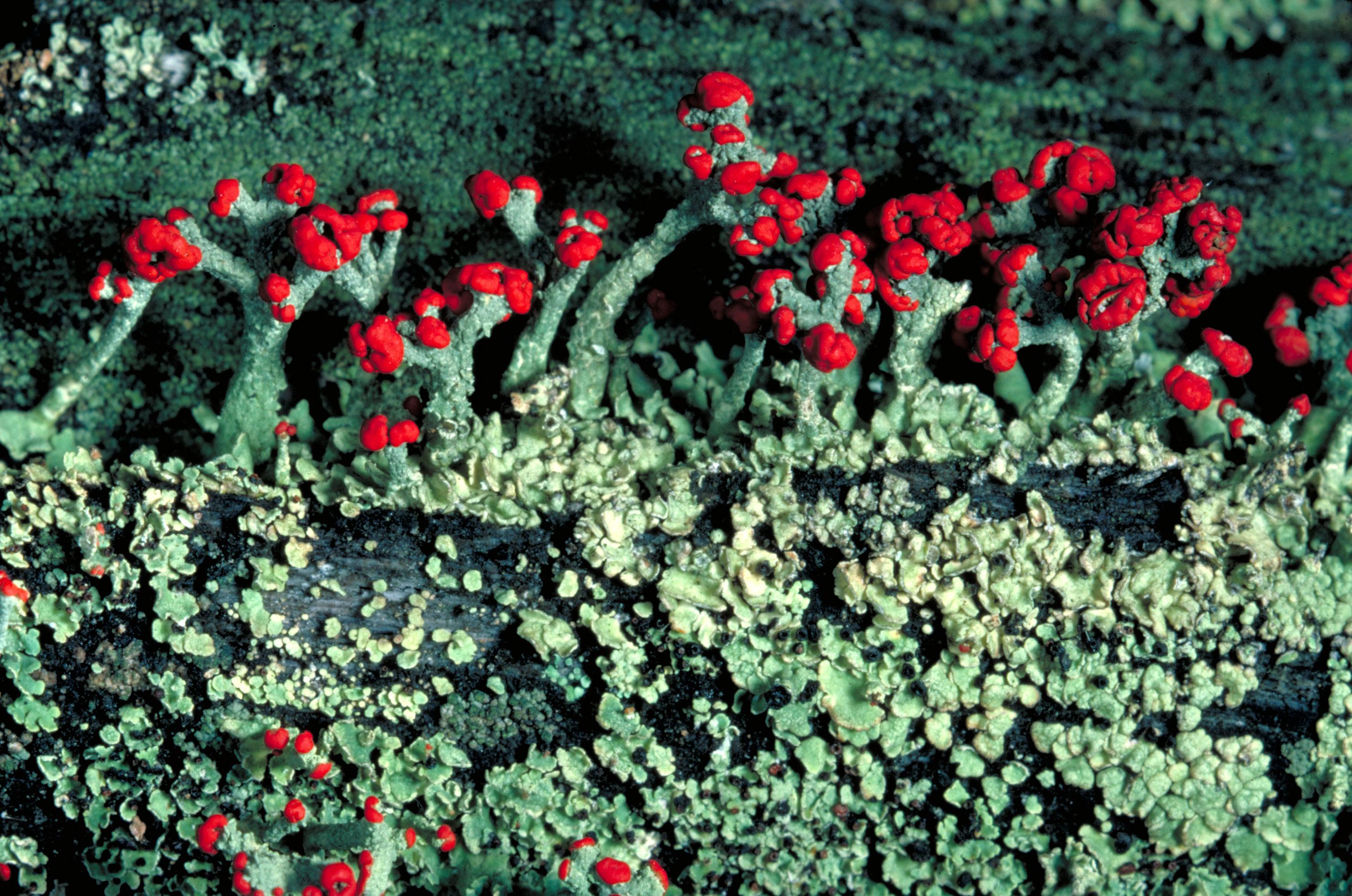 soldier moss