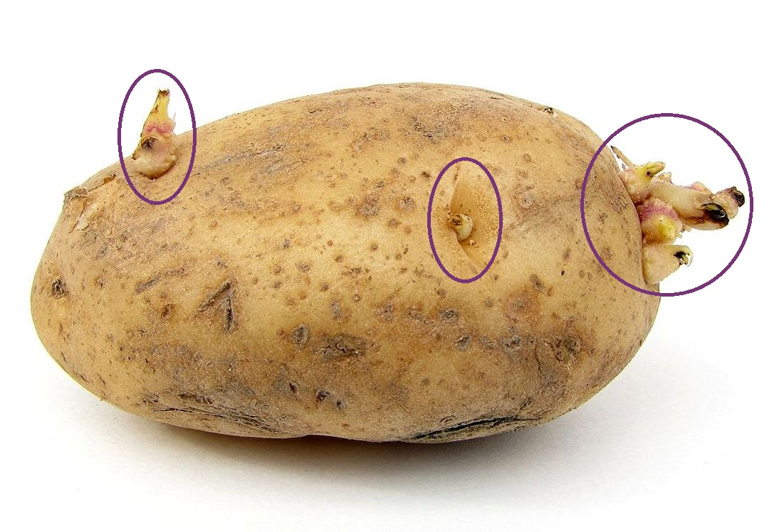 Store Bought Potatoes Treated With Eye Growth Inhibitor