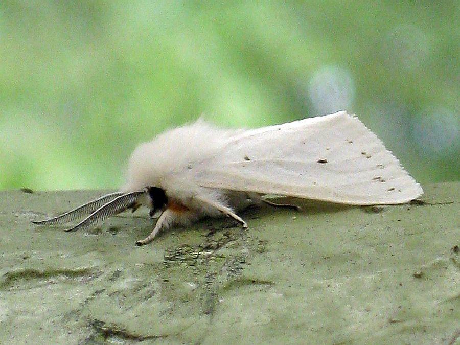 Spring webworm moth