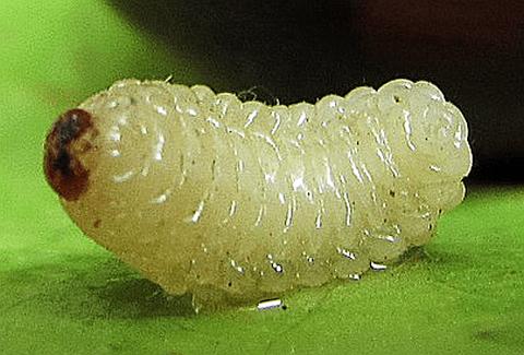 Chestnut weevil maggot