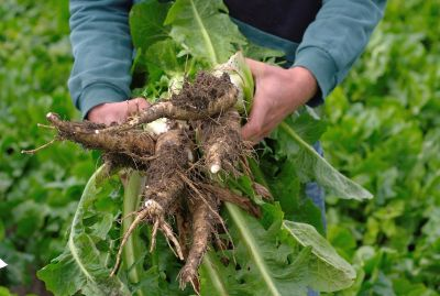 Chicory roots