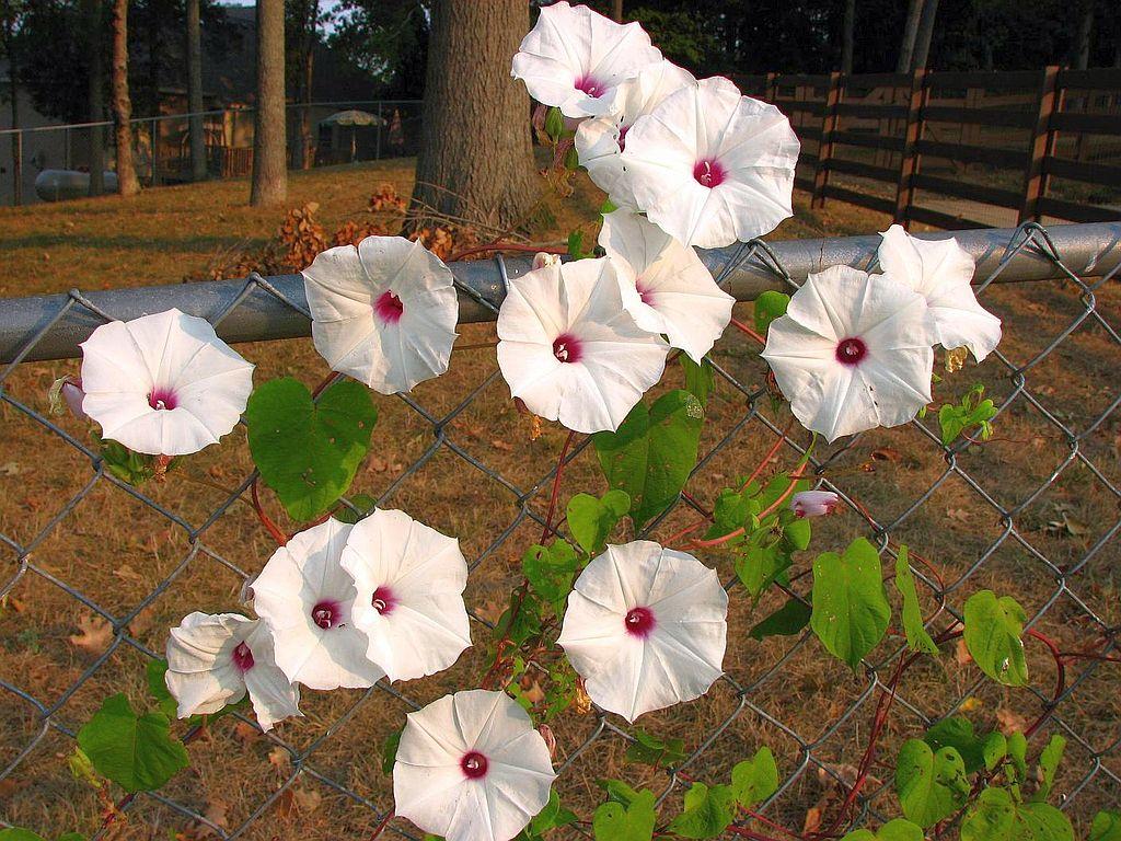 wild potato flowers