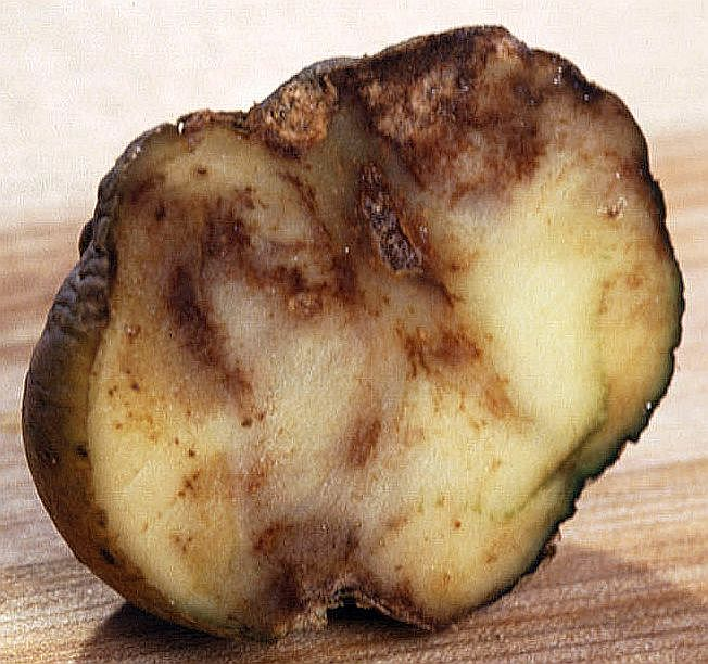 Irish potato famine: infected potato.