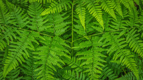 Bracken Ferns