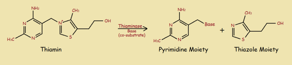Thiaminase Reaction